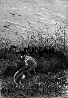 He cut the tusks, vintage engraving.
