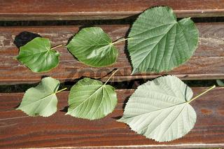 Tilia cordata, Tilia platyphyllos, Tilia tomentosa