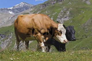 Kuehe auf Weide, Grosssslockner Hochalpenstrasse, National Park Hohe Tauern, Kaernten, Oesterreich, Cows on pasture, Grossglockner High Alpine Road, Carinthia, Austria