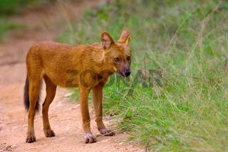 Indian Wild Dog, Cuon alpinus, Nagarhole Tiger Reserve, Karnataka