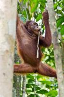 Borneo-Orang-Utan, Pongo pygmaeus