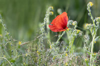 Single Wild Poppy
