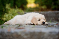BENZ KERSTIN - GOLDEN RETRIEVER-13.jpg