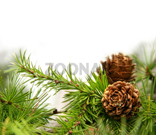 Pine cones on branches on white