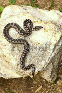 colorful male nose horned viper basking on rock ( Vipera ammodytes