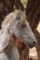 Angebundenes Pferd auf Djerba