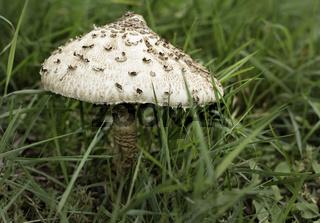 Gemeiner Riesenschirmling, Parasol ( Macrolepiota procera)