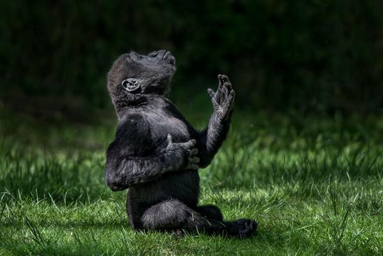Western Lowland Gorilla Baby II