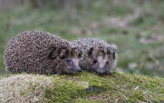 Igel, Erinaceus europaeus, Hedgehog
