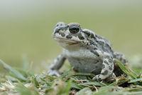 schön anzusehen... Wechselkröte *Bufo viridis* auf Augenhöhe sitzend im Gras