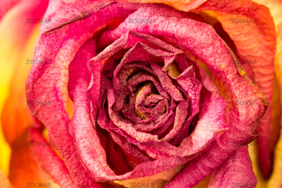 Beautiful rose flower close-up