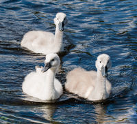 Three young cygnets of mute swan swimming in a lake