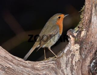Rotkehlchen; Erithacus rubecula; robin; redbreast;