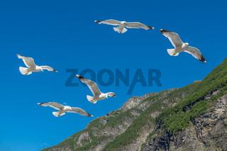 Möven am Geirangerfjord