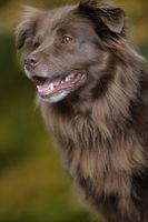 lächelnder brauner Hund