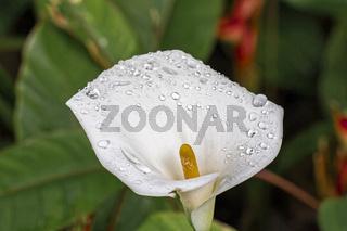 Weisse Calla - Zantedeschia aethiopica - Südafrika