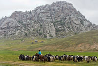 Eine Herde Yaks auf der Weide, Mongolei