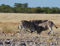 Namibia, Etosha, Zebras