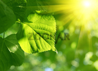 green leaf and sun beams