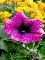 Petunie Lila/ Petunia hybrida