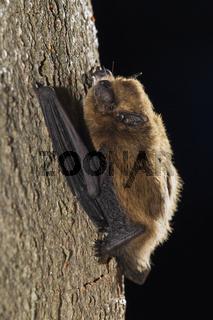 Zwergfledermaus (Pipistrellus pipistrellus), Common Pipistrelle