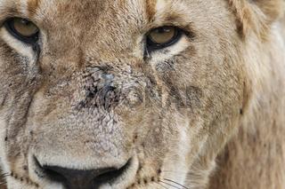 Masai Mara Löwe - close-up, Im Angesicht des Löwen
