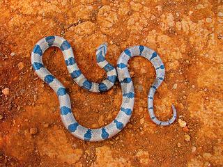 Banded Kukri Snake, Oligodon arnensis Satara, Maharashtra