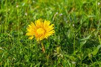 kleine gelbe pusteblume