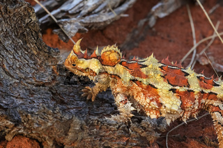 Close up of a Thorny Devil in the Australian outback, Northern Territory, Australia