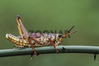 Romalea microptera gehoert zur Familie der Kurzfuehlerschrecken und die Weibchen koennen eine Koerperlaenge von 8cm erreichen  -  (Foto ausgewachsenes Maennchen)