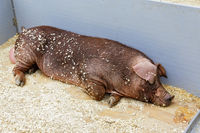 Young hog in a pen resting