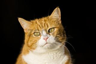 Europaeisch Kurzhaar Hauskatze, Keltisch Kurzhaar, European Shorthair, Celtic shorthair, house cat