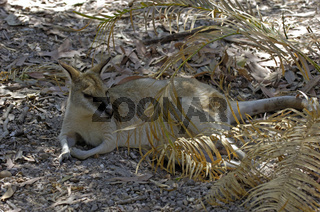Flinkwallaby, Macropus agiles,Litchfield NP, Nothern Territory, Australien