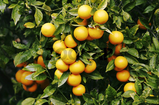 Orangen, Fruechte im Dezember.