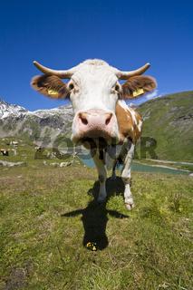 Kuh auf einer Weide, Grosssslockner Hochalpenstrasse, Nationalpark Hohe Tauern, Kaernten, Oesterreich, Cow on a pasture, Grossglockner High Alpine Road, Carinthia, Austria