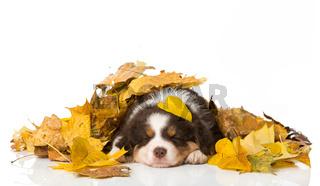 Schlafender Welpe im Herbstlaub