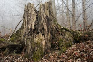 Baumstumpf im Nebel