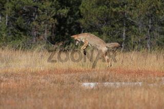 Coyote bei der Jagt