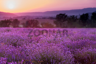 lavender plantation at sunset.