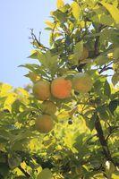 Pomeranze (citrus aurantium)