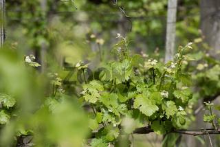 Weinpflanze