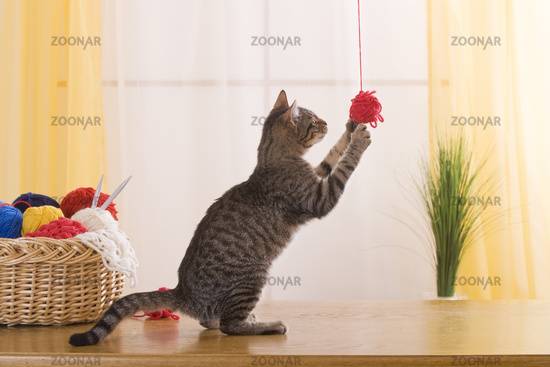 Katze spielt mit Wolle, Cat plays with wool