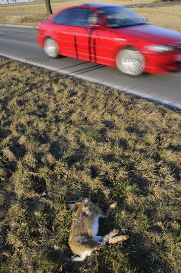 Toter Hase am Straßenrand - Dead rabbit