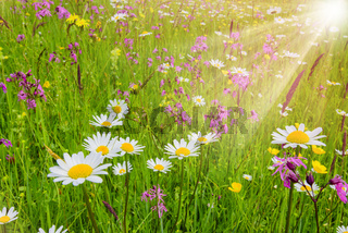spring meadow with beautiful flowers and sunbeams