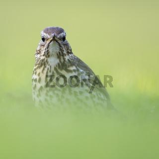 tief im Gras... Singdrossel *Turdus philomelos*