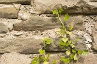 Efeu auf Mauerwerk