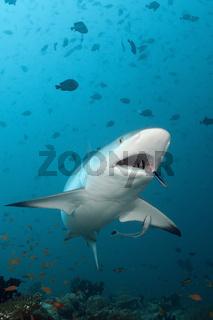 Grauer Riffhai mit Putzerfisch
