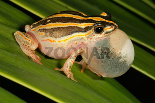 Calling painted reed frog