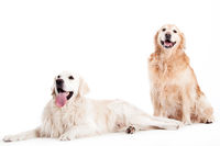 2 golder retriever dogs