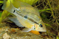 Yellow Fire Mouth (Thorichthys pasiones) - juvenile female